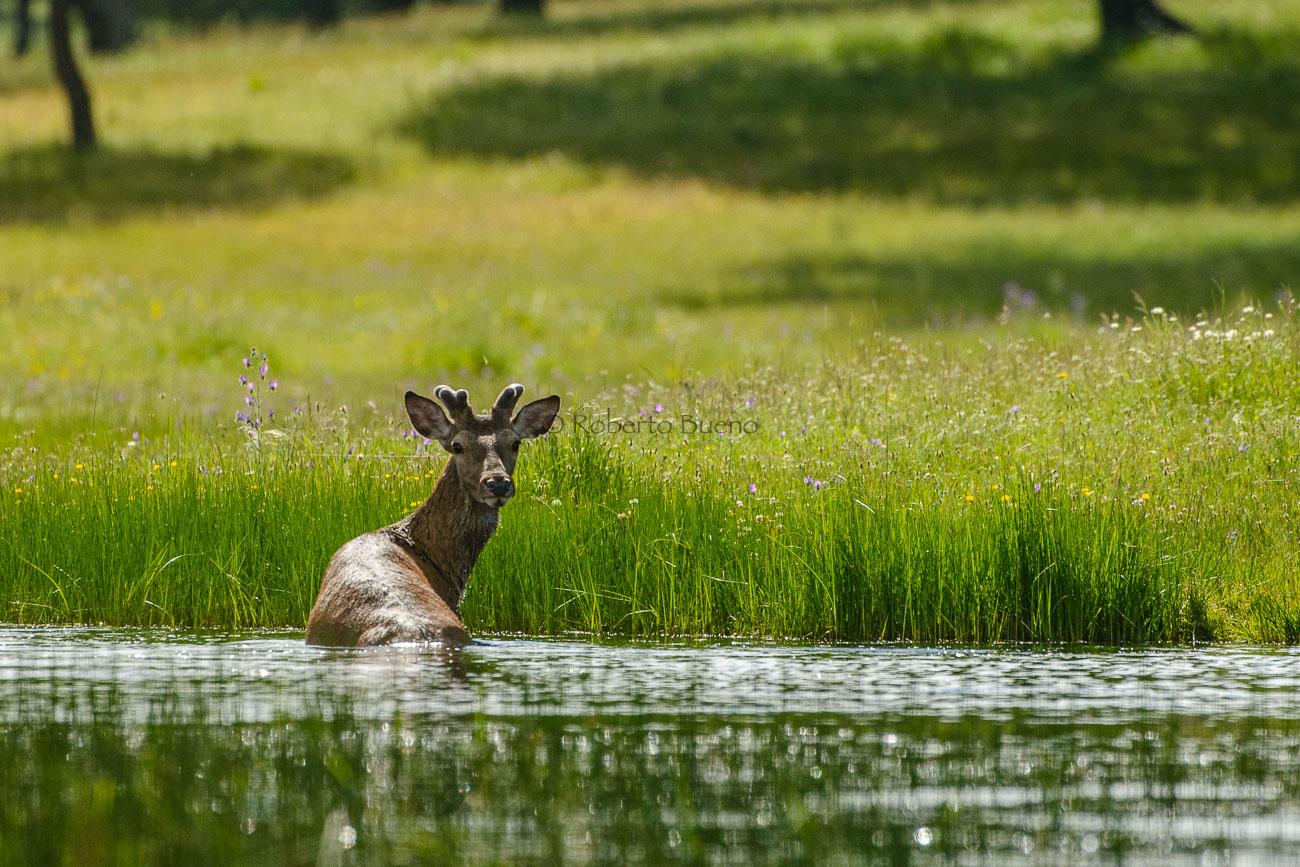 El baño del ciervo. Serrejón. Cáceres - The bath of deer. Serrejón. Cáceres - Wildlife - Roberto Bueno – Photography, Nature, mammals, birds, insects, arachnids, amphibians