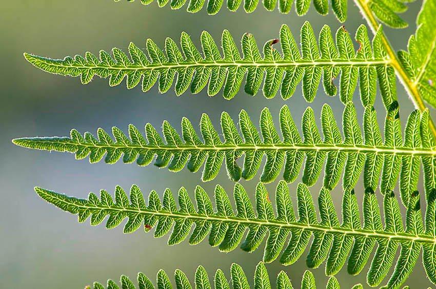 Helecho común (Pteridium aquilinum) - Flora  - Flora - Roberto Bueno – Fotografía, Naturaleza, árboles, flores, hongos, líquenes