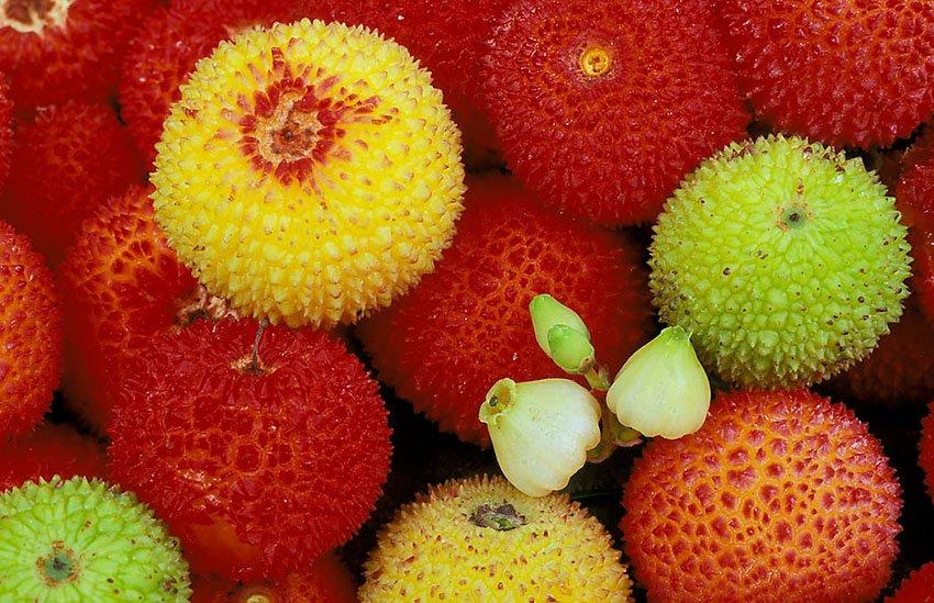 Madroño (Arbutus unedo)  - Flora  - Flora - Roberto Bueno – Fotografía, Naturaleza, árboles, flores, hongos, líquenes