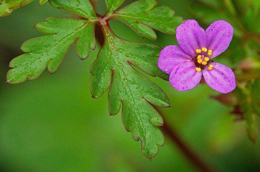 Hierba de San Roberto (Geranium robertianum)  - Flora  - Flora - Roberto Bueno – Fotografía, Naturaleza, árboles, flores, hongos, líquenes