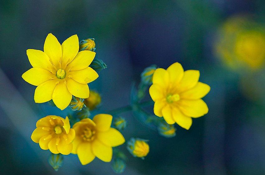 Centaurea amarilla (Blackstonia perfoliata)  - Flora  - Flora - Roberto Bueno – Fotografía, Naturaleza, árboles, flores, hongos, líquenes