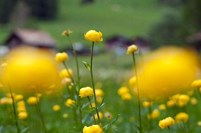 Ranúnculos - Flora  - Flora - Roberto Bueno – Fotografía, Naturaleza, árboles, flores, hongos, líquenes
