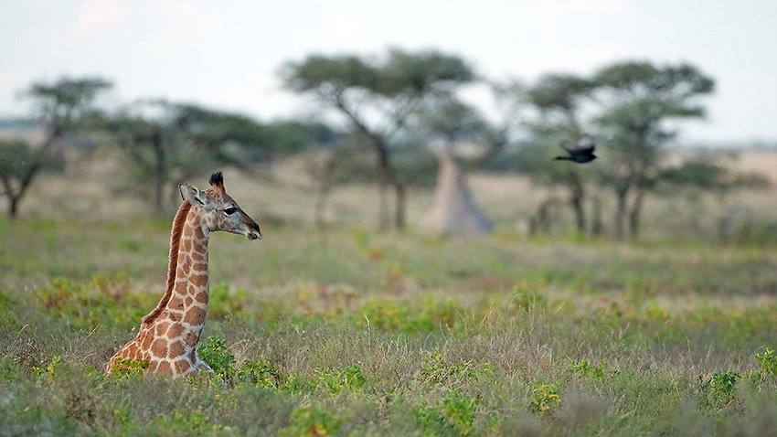 Jirafa meridional (Giraffa cameopardalis giraffa). Etosha. Namibia - África - Roberto Bueno. Fotografías de Tanzania y Namibia. África