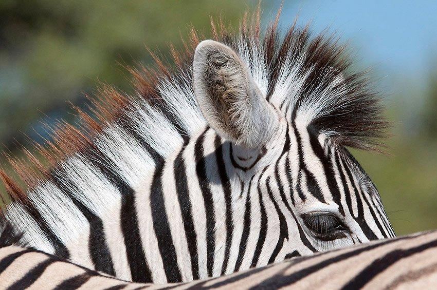 Cebra de Burchell (Equus burchellii). Etosha. Namibia - África - Roberto Bueno. Fotografías de Tanzania y Namibia. África