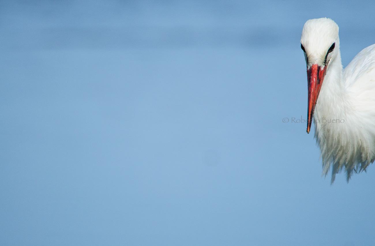 Cigüeña común (Ciconia ciconia) - Aves - www.robertobueno.com, Luces del planeta