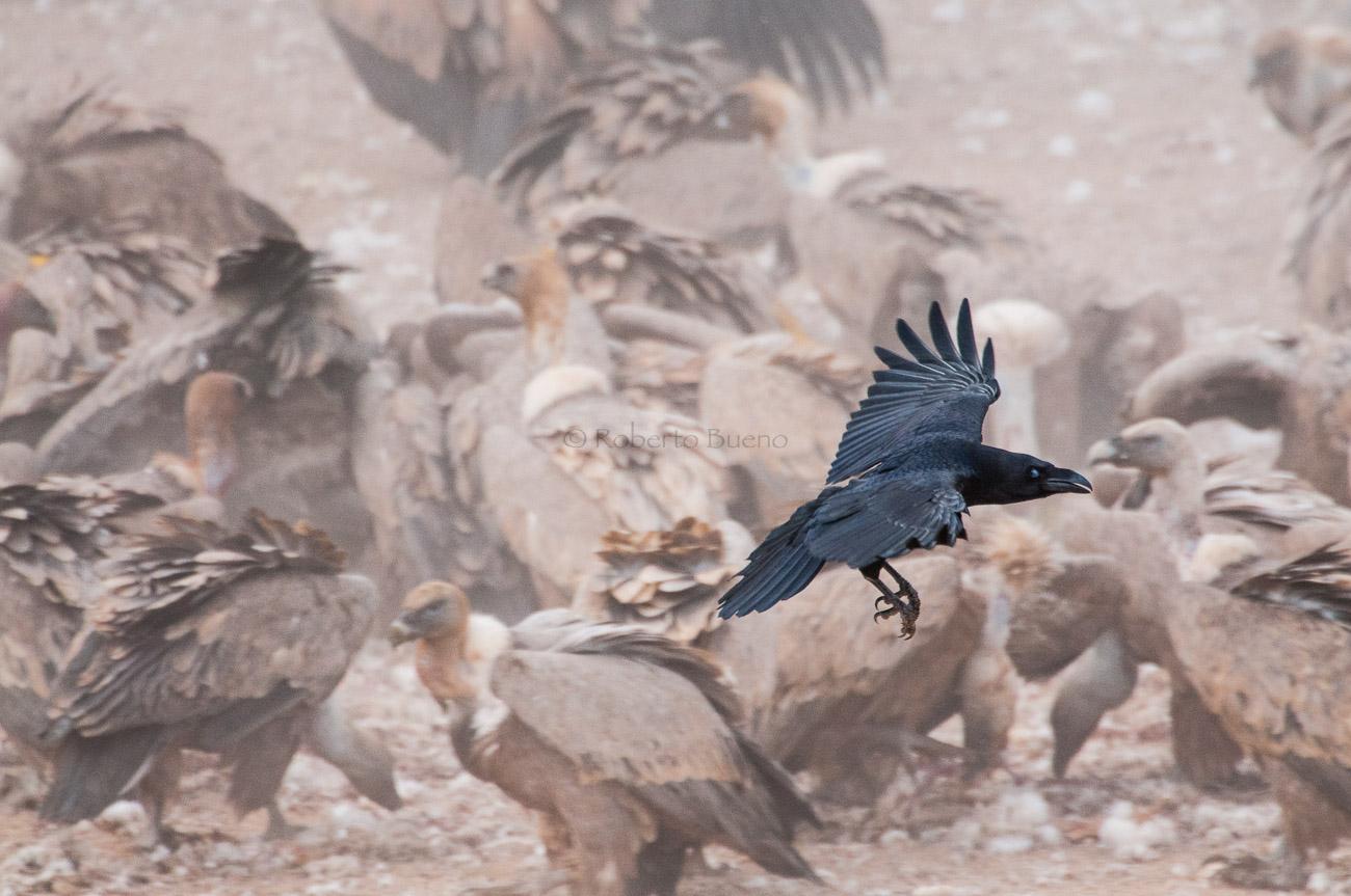 Cuervo (Corvus corax) - Aves - www.robertobueno.com, Luces del planeta
