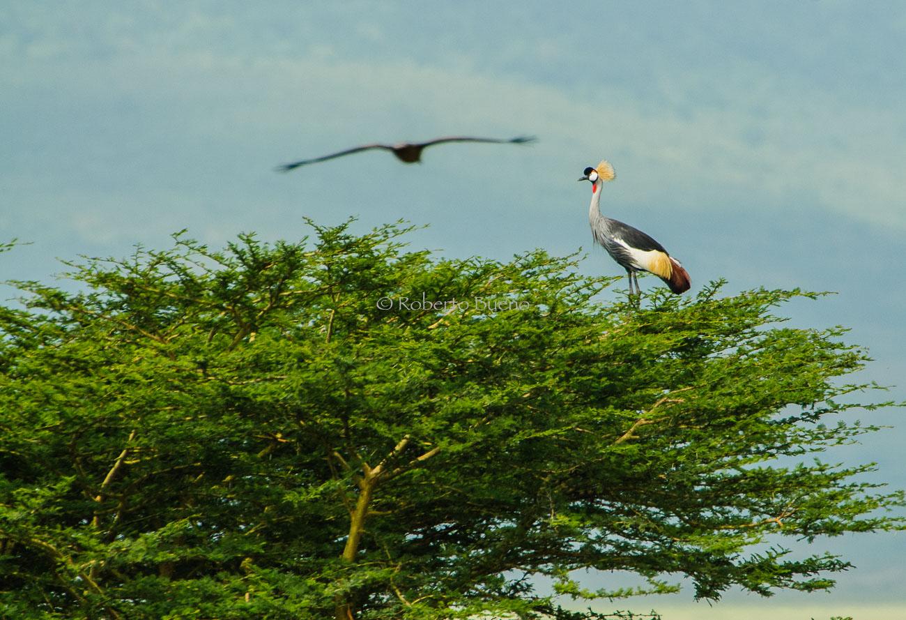 Grulla coronada (Balearica regulorum) - Aves - www.robertobueno.com, Luces del planeta