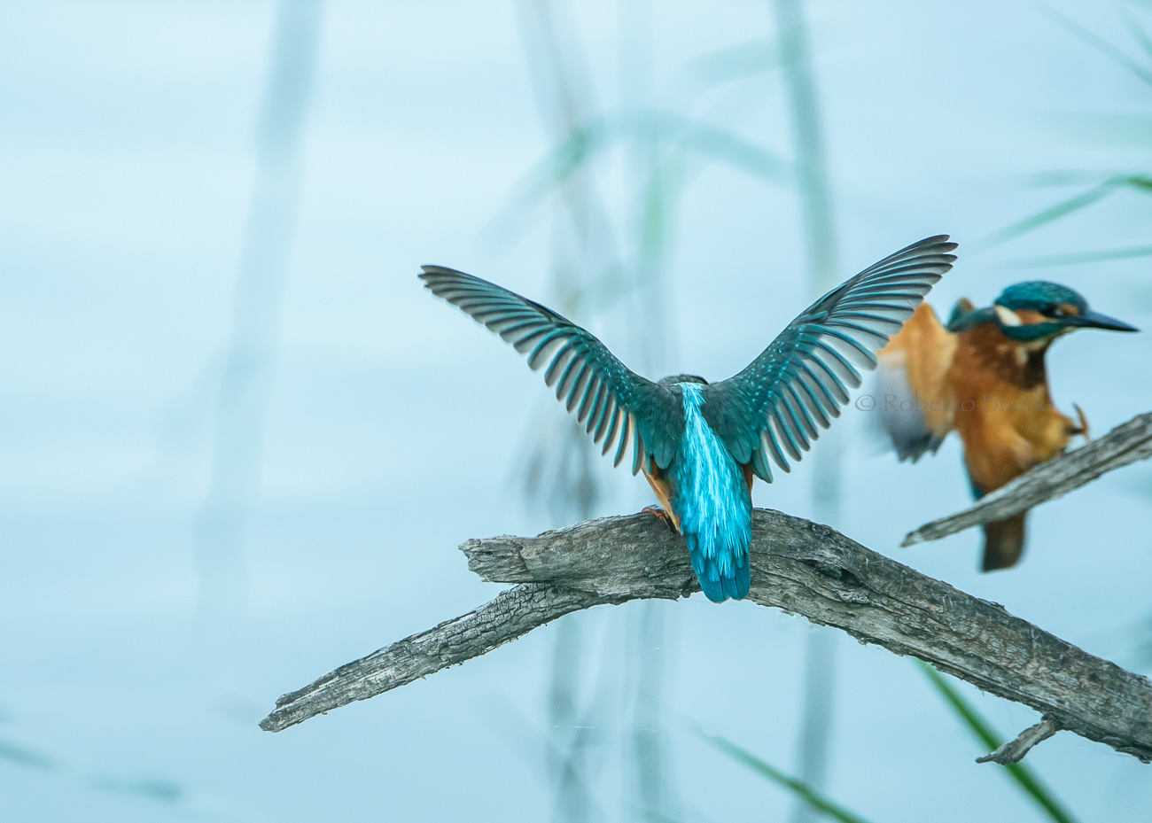 Martín pescador (Alcedo atthis) - Aves - www.robertobueno.com, Luces del planeta