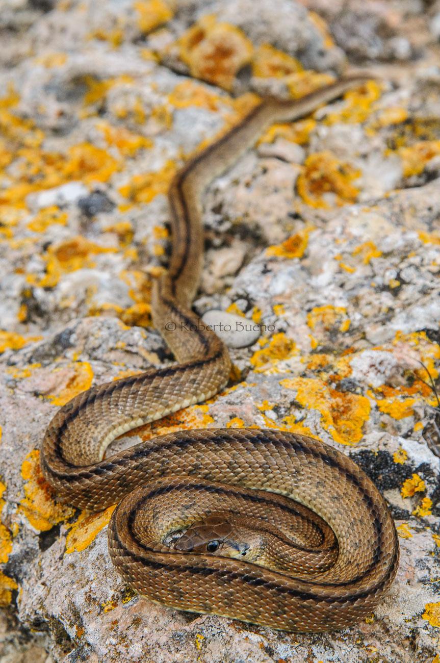 Culebra de escalera (Rhinechis scalaris) - Fauna - Fauna - Roberto Bueno – Fotografía, Naturaleza, mamíferos, aves, insectos, arácnidos, anfibios