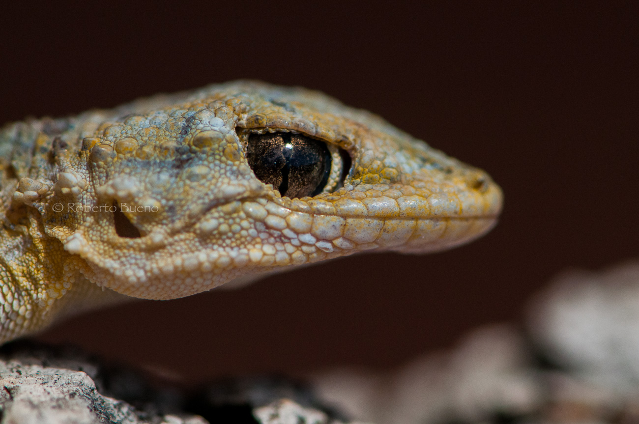 La mirada astuta. Salamanquesa común (Tarentola mauritanica) - Fauna - Fauna - Roberto Bueno – Fotografía, Naturaleza, mamíferos, aves, insectos, arácnidos, anfibios