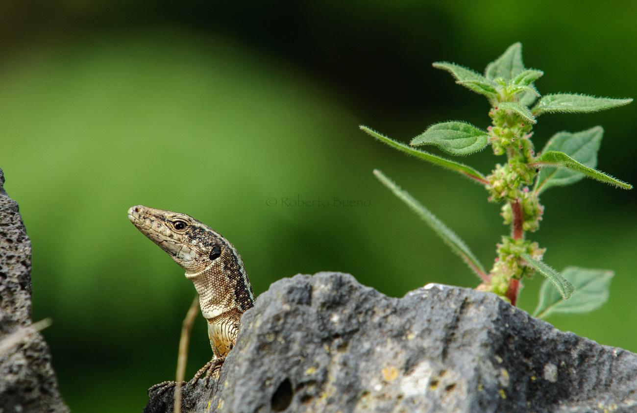 Lagartija de Madeira (Teira dugesii) - Fauna - Fauna - Roberto Bueno – Fotografía, Naturaleza, mamíferos, aves, insectos, arácnidos, anfibios