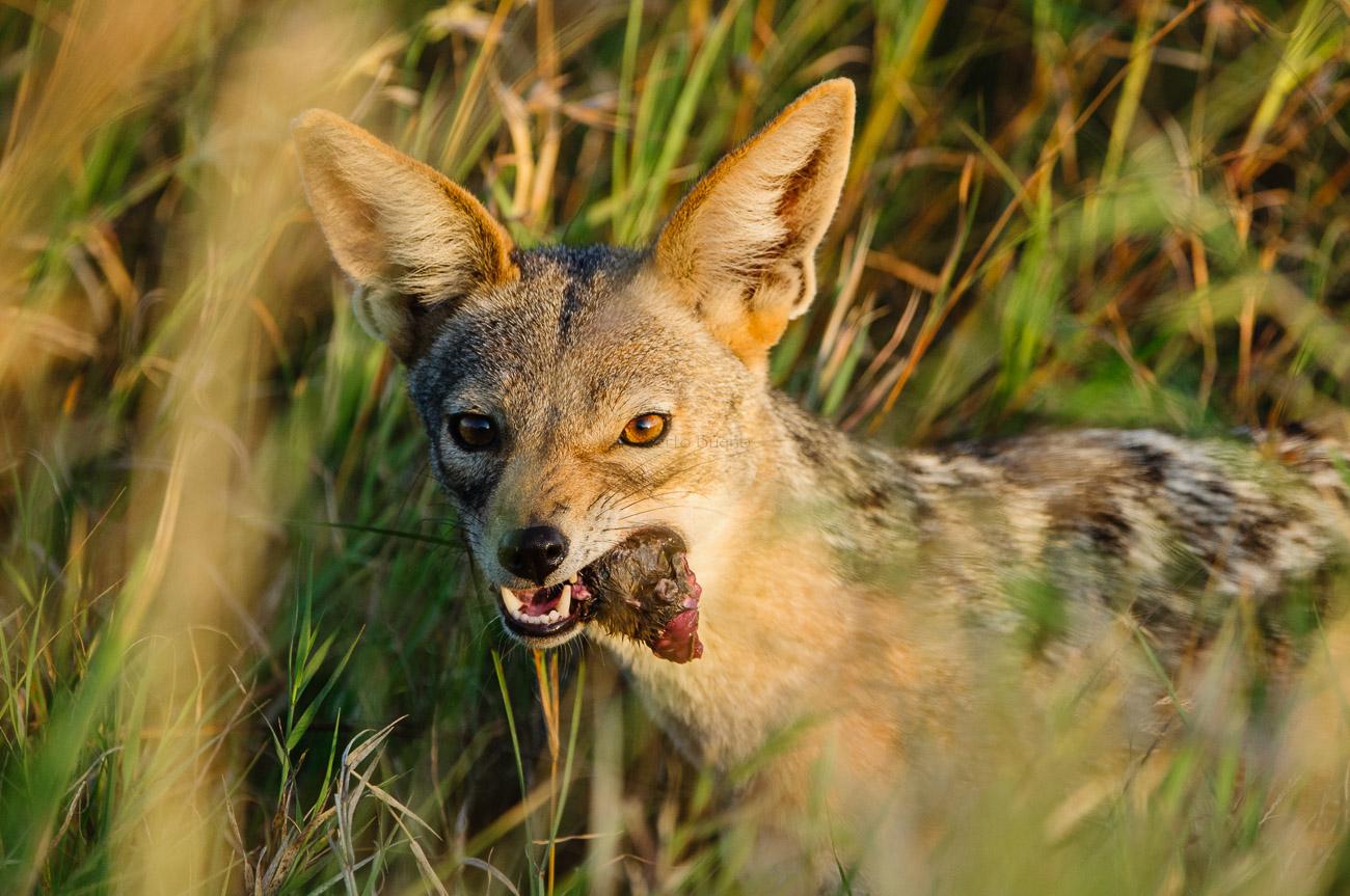 Chacal de lomo negro (Canis mesomelas) - Fauna - Fauna - Roberto Bueno – Fotografía, Naturaleza, mamíferos, aves, insectos, arácnidos, anfibios