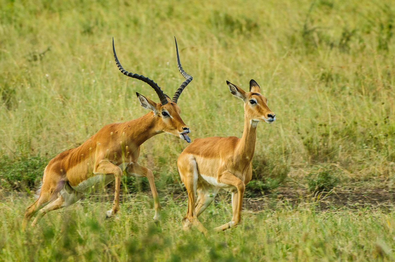 Impalas (Aepyceros melampus) en celo - Impalas (Aepyceros melampus). Serengeti National Park - Wildlife - Roberto Bueno – Photography, Nature, mammals, birds, insects, arachnids, amphibians