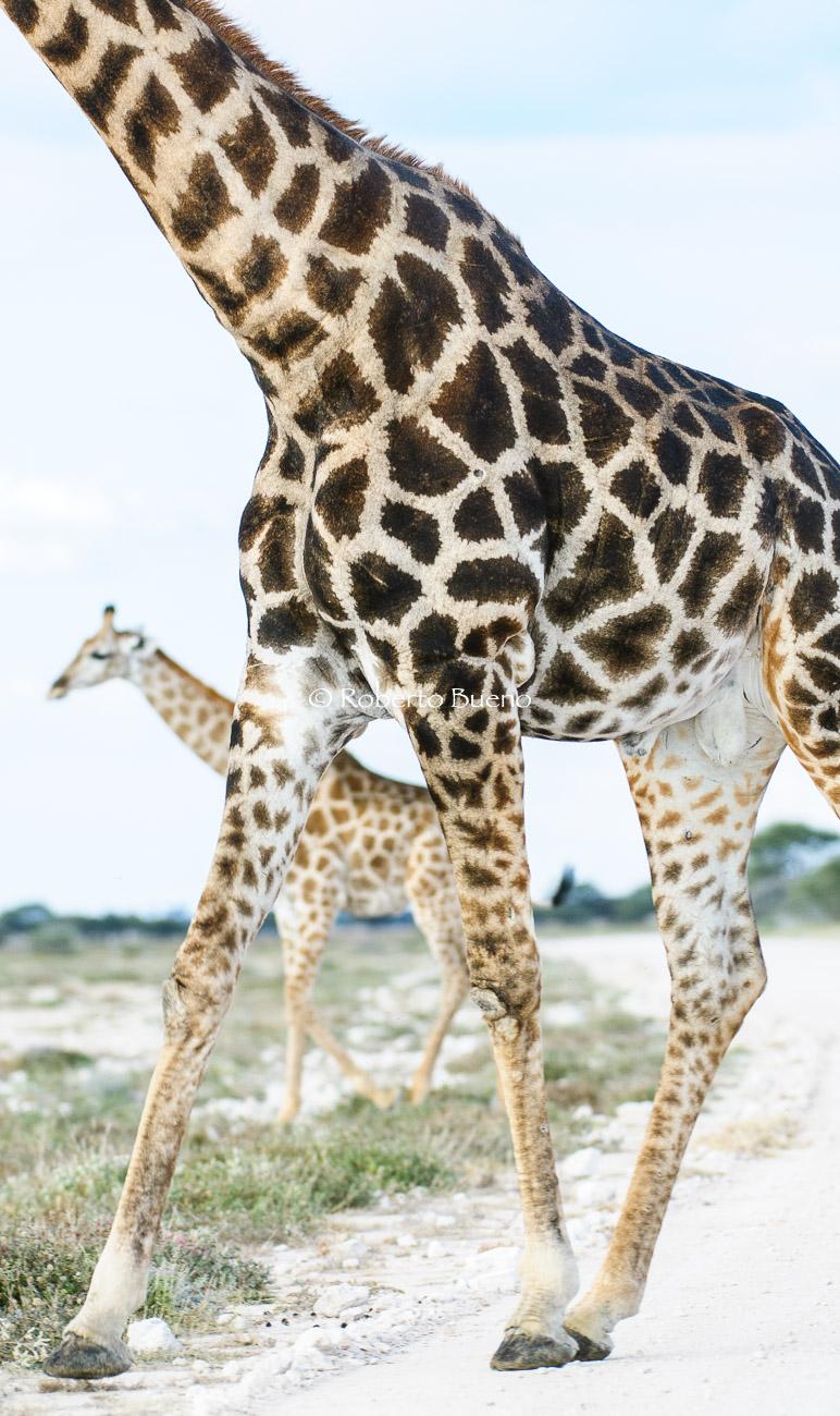 Jirafa meridional (Giraffa cameopardalis giraffa) - Giraffa cameopardalis giraffa. Etosha National Park - Wildlife - Roberto Bueno – Photography, Nature, mammals, birds, insects, arachnids, amphibians