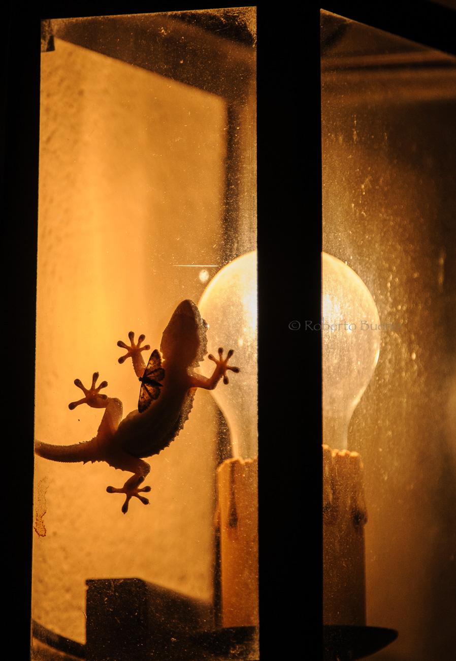 La atracción de la luz. Salamanquesa común (Tarentola mauritanica) - Fauna - Fauna - Roberto Bueno – Fotografía, Naturaleza, mamíferos, aves, insectos, arácnidos, anfibios