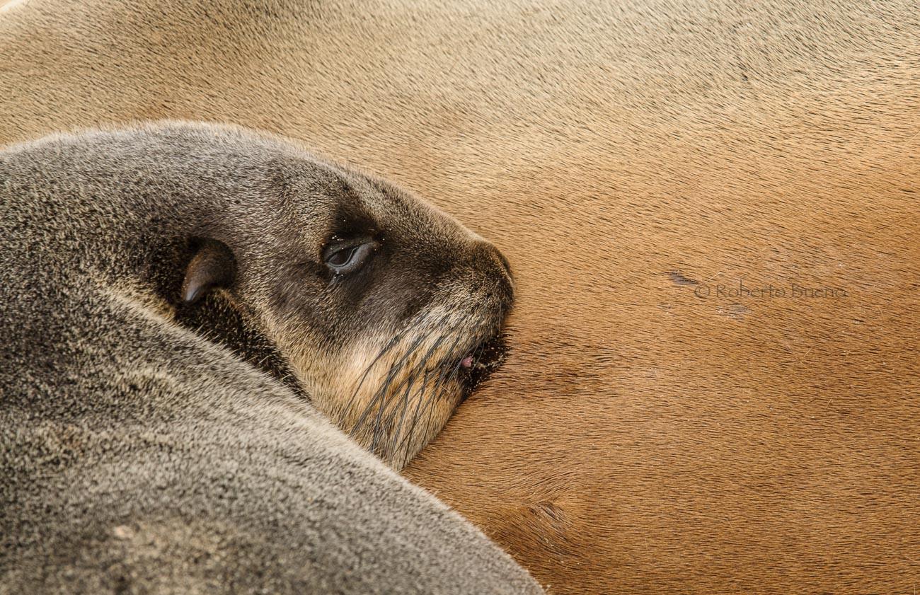 Lobo marino del Cabo  (Arctocephalus pusillus pusillus) - Fauna - Fauna - Roberto Bueno – Fotografía, Naturaleza, mamíferos, aves, insectos, arácnidos, anfibios
