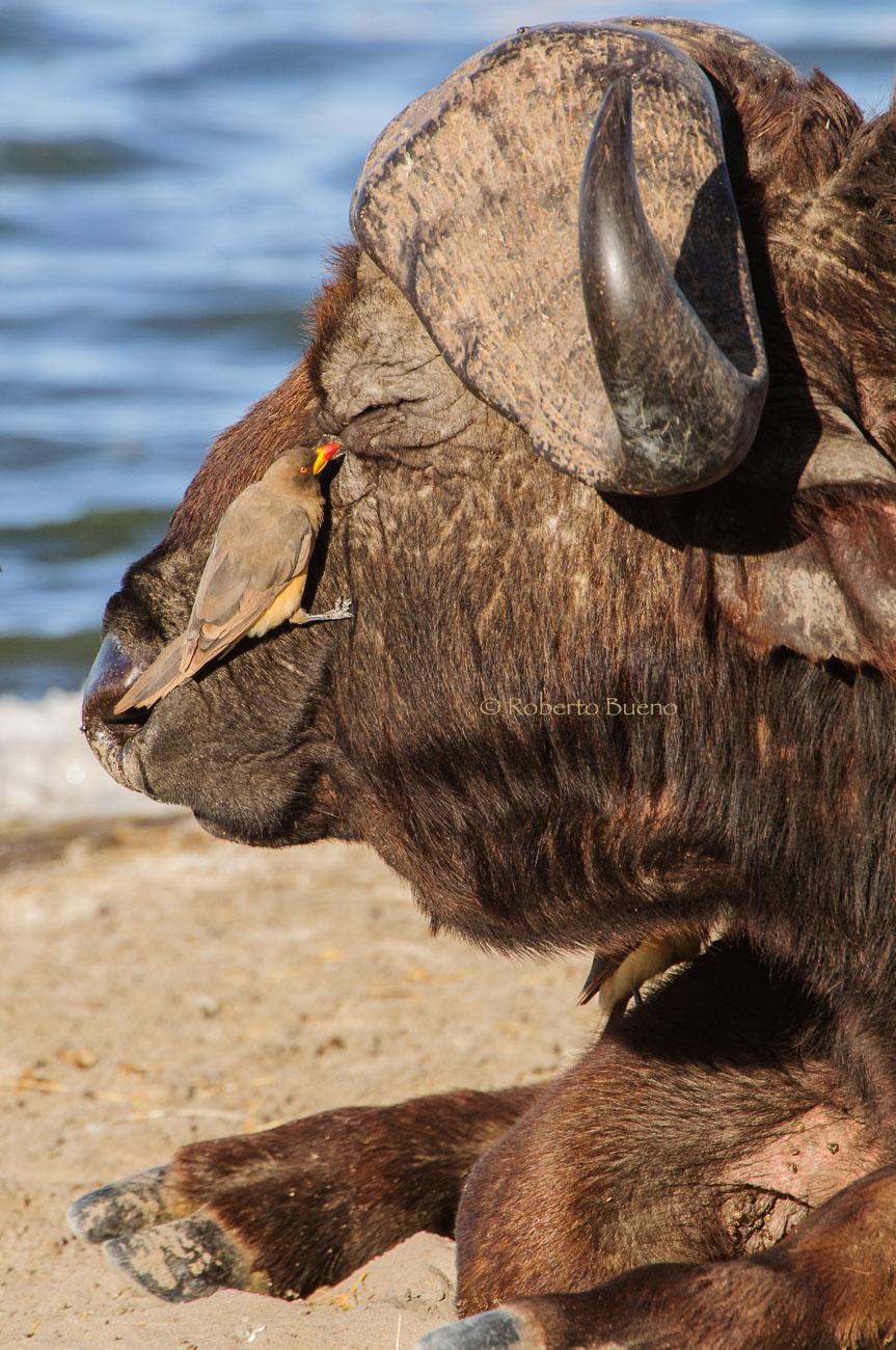 Búfalo cafre (Syncerus caffer) y picabueyes piquigualdo (Buphagus africanus) - Fauna - Fauna - Roberto Bueno – Fotografía, Naturaleza, mamíferos, aves, insectos, arácnidos, anfibios