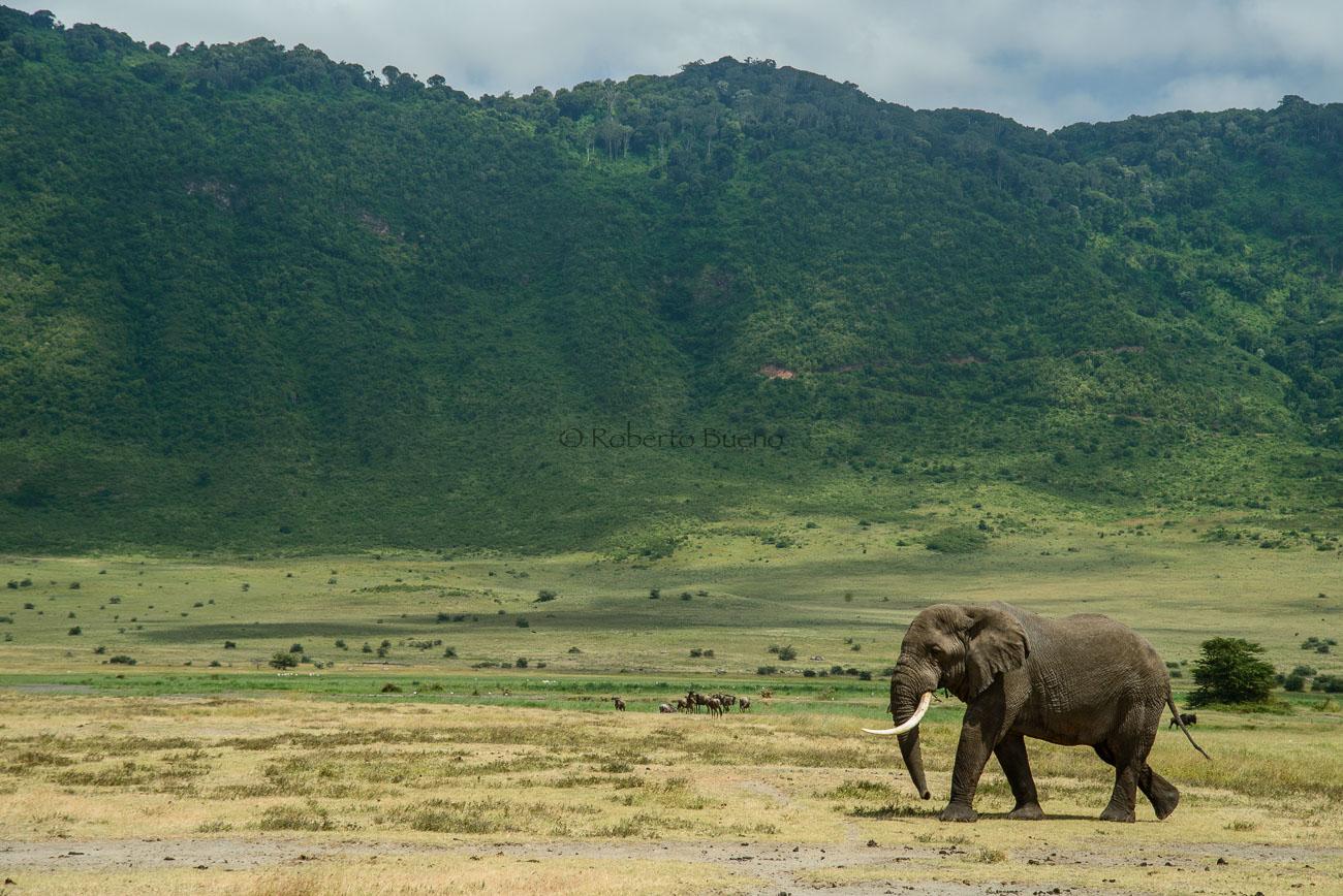 Elefante africano (Loxodonta africana) - Fauna - Fauna - Roberto Bueno – Fotografía, Naturaleza, mamíferos, aves, insectos, arácnidos, anfibios