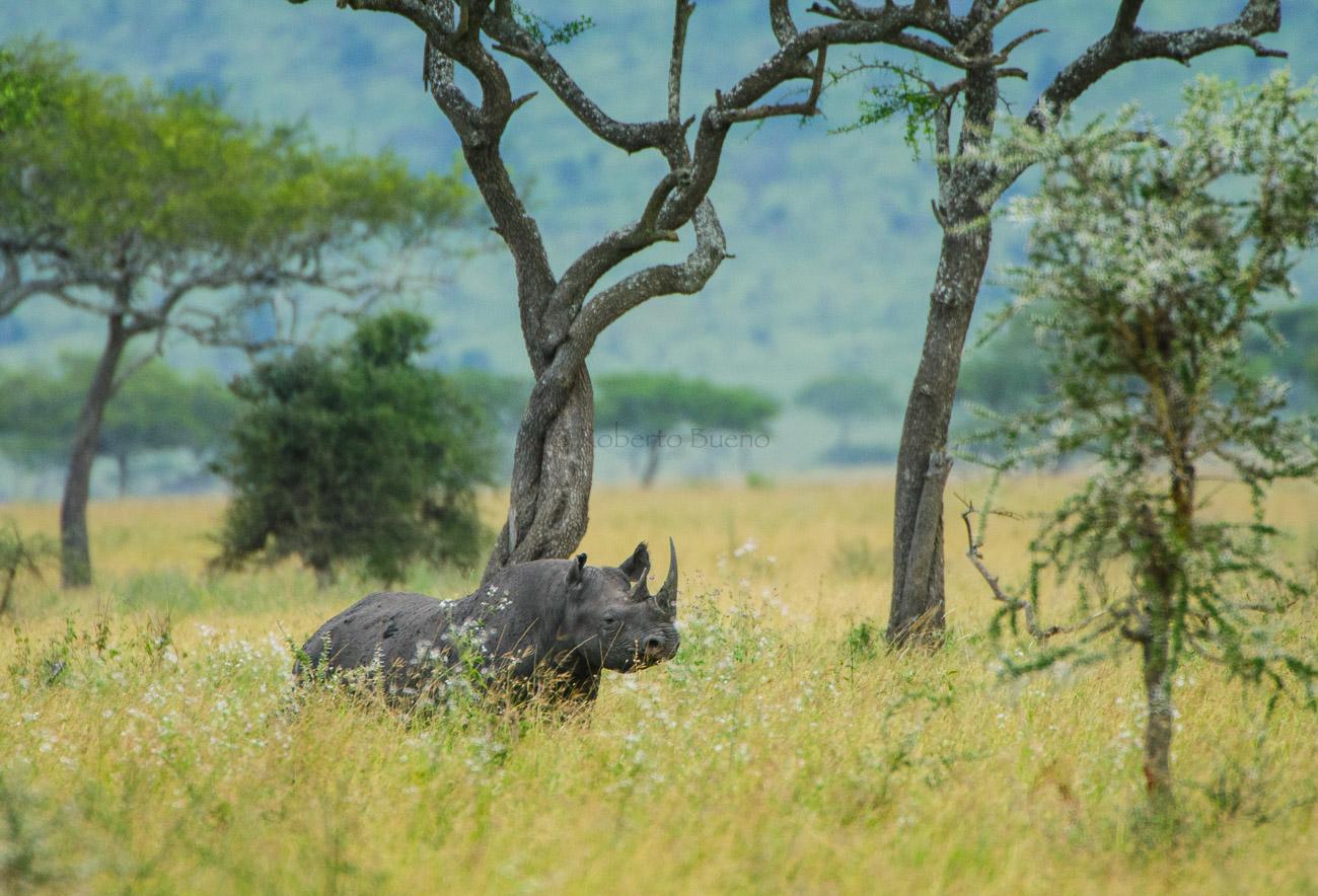 Rinoceronte negro (Diceros bicornis)  - Fauna - Fauna - Roberto Bueno – Fotografía, Naturaleza, mamíferos, aves, insectos, arácnidos, anfibios