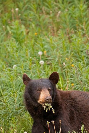 Oso negro (Ursus americanus) - Yukon, NWT y Dempster - Roberto Bueno. Luces del Planeta. Fotografías. Yukon, Territorios del Noroeste y Dempster Highway