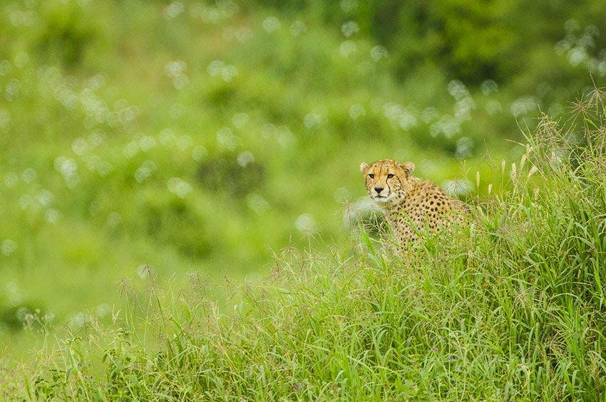 Guepardo (Acinonyx jubatus). Parque Nacional Tarangire. Tanzania - África - Roberto Bueno. Fotografías de Tanzania y Namibia. África