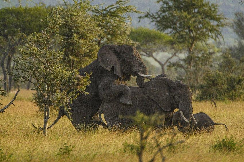 Cópula de elefante (Loxodonta africana)  . Tanzania - África - Roberto Bueno. Fotografías de Tanzania y Namibia. África