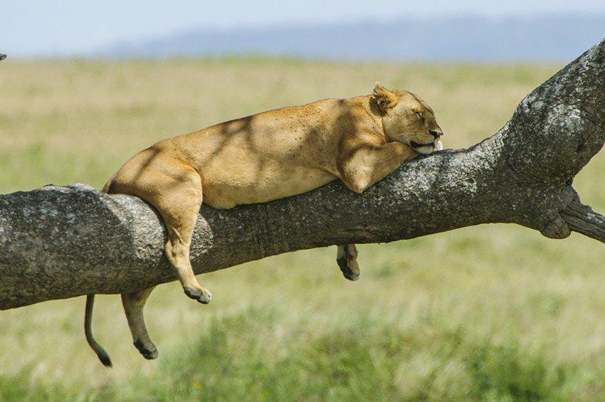 El descanso de la leona (Panthera leo). Tanzania - África - Roberto Bueno. Fotografías de Tanzania y Namibia. África