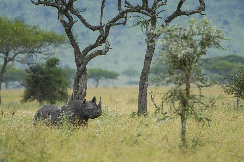 Rinoceronte negro (Diceros bicornis). Serengeti. Tanzania  - África - Roberto Bueno. Fotografías de Tanzania y Namibia. África