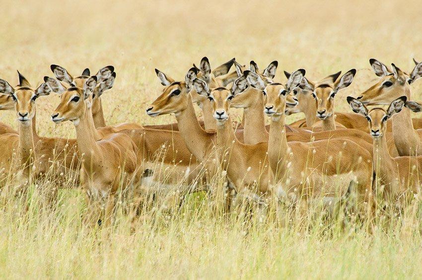 Harén de impalas (Aepyceros melampus). Tanzania - África - Roberto Bueno. Fotografías de Tanzania y Namibia. África
