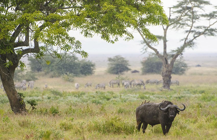 Búfalo cafre (Syncerus caffer) en el cráter del Ngorongoro. Tanzania - África - Roberto Bueno. Fotografías de Tanzania y Namibia. África