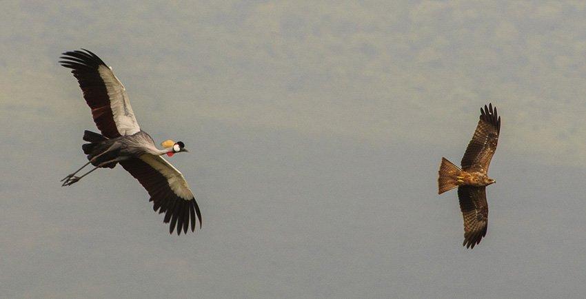 Grulla coronada (Balearica regulorum) y Milano negro (Milvus migrans). Tanzania - África - Roberto Bueno. Fotografías de Tanzania y Namibia. África