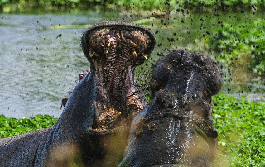 Lucha de hipopótamos (Hippopotamus amphibius) en el cráter del Ngorongoro. Tanzania - África - Roberto Bueno. Fotografías de Tanzania y Namibia. África