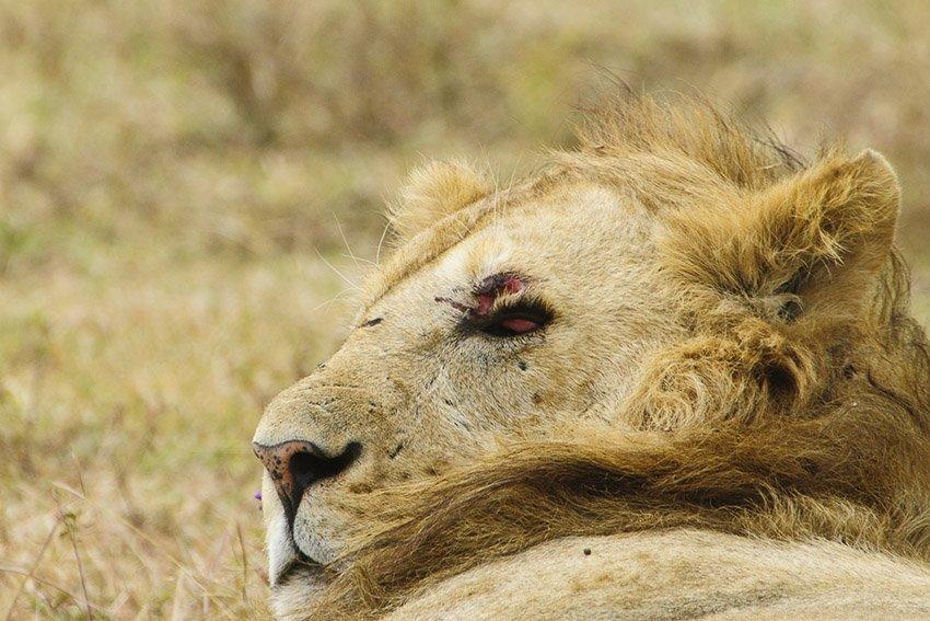 La vida es dura ahí afuera. León (Panthera leo). Tanzania - África - Roberto Bueno. Fotografías de Tanzania y Namibia. África