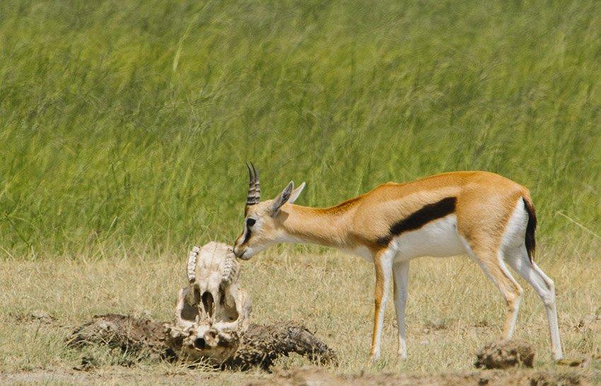Gacela de Thompson (Gazella rufifrons) y cráneo de búfalo. Tanzania - África - Roberto Bueno. Fotografías de Tanzania y Namibia. África