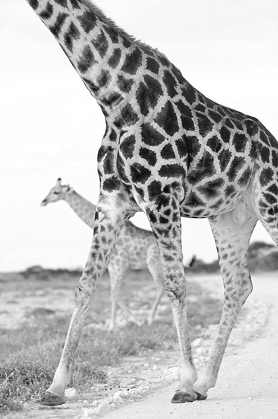 Jirafas (Giraffa camelopardalis) - Blanco y Negro - Blanco y Negro - Roberto Bueno - Fotografía de Naturaleza