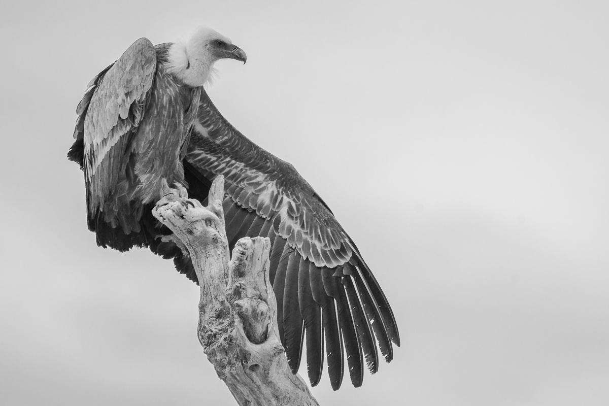 El rey del tronco. Buitre leonado (Gyps fulvus). Valderrobres - Blanco y Negro - Blanco y Negro - Roberto Bueno - Fotografía de Naturaleza