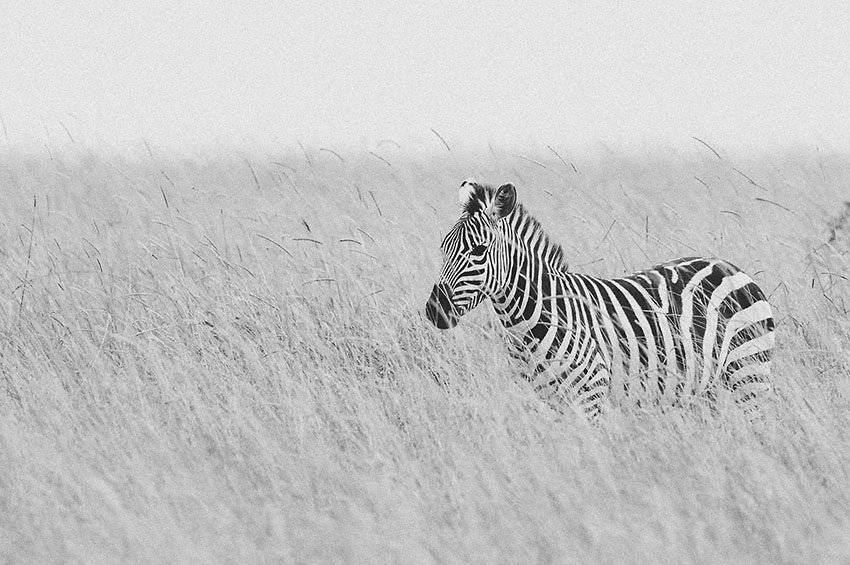 Cebra (Equus quagga) en la sabana - Blanco y Negro - Blanco y Negro - Roberto Bueno - Fotografía de Naturaleza