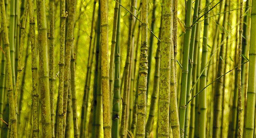 Bambú - Flora  - Flora - Roberto Bueno – Fotografía, Naturaleza, árboles, flores, hongos, líquenes