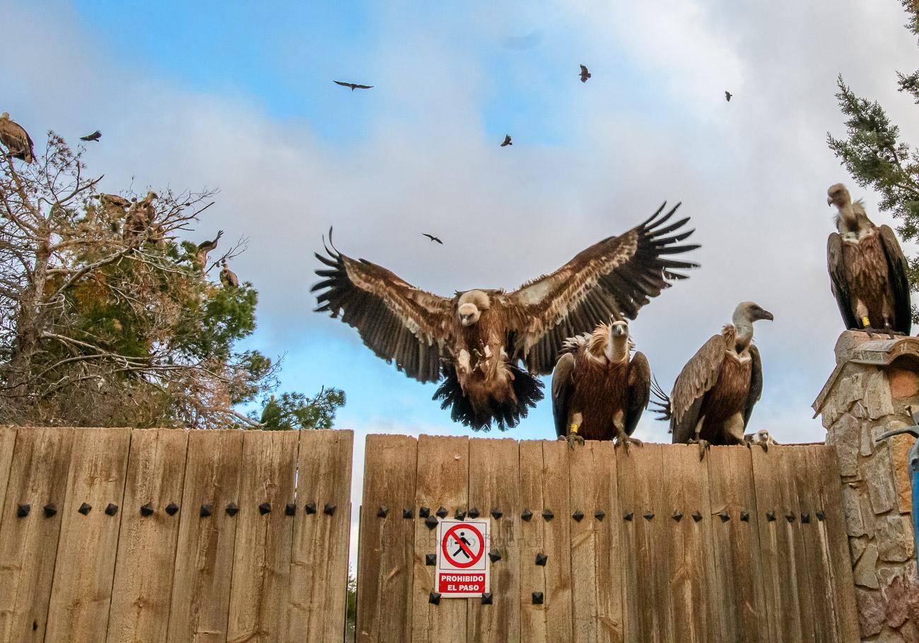 Buitres: prohibido el paso. Mas de Bunyol. Valderrobres - Aves - www.robertobueno.com, Luces del planeta