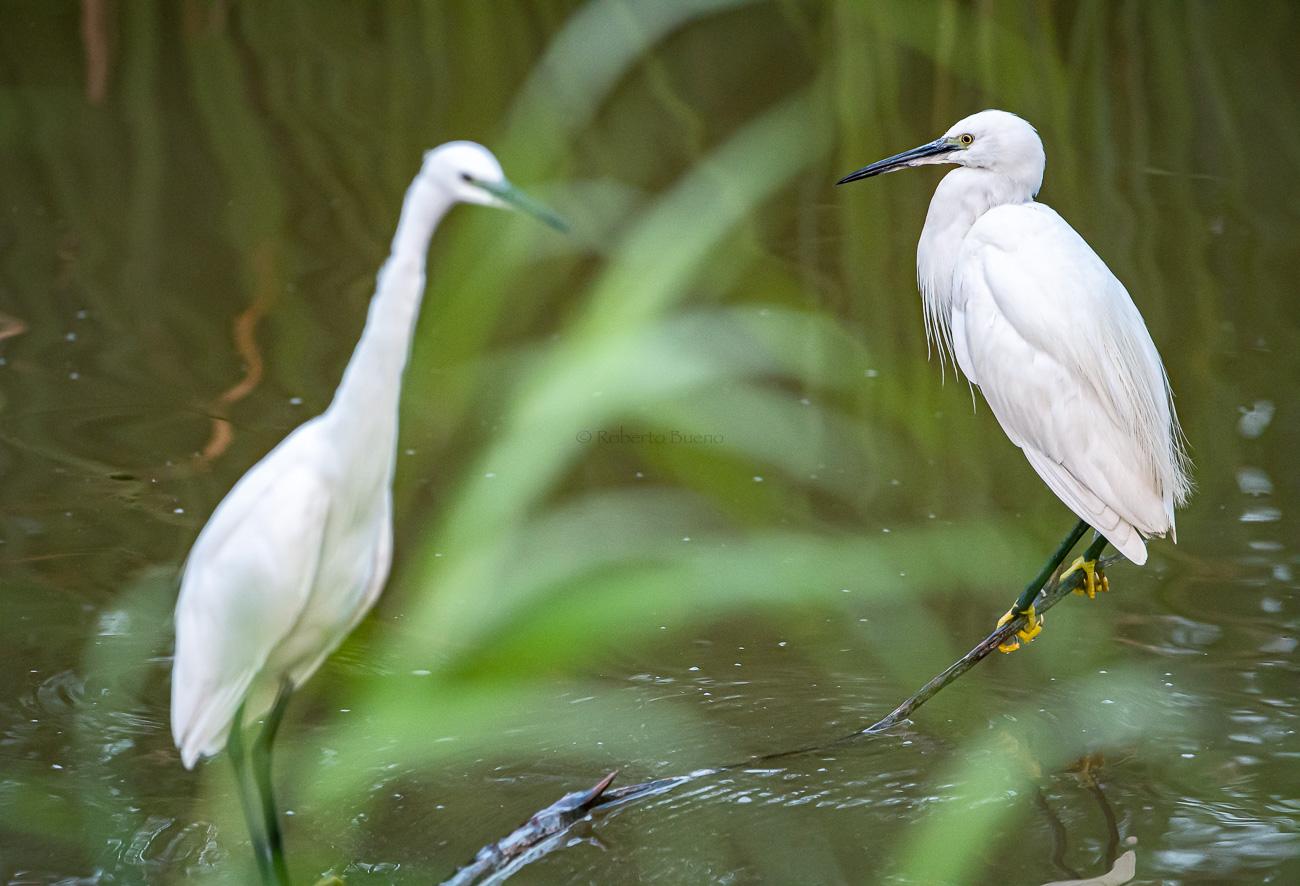 Garza twin. Reserva Natural de Sebes. Flix - Aves - www.robertobueno.com, Luces del planeta