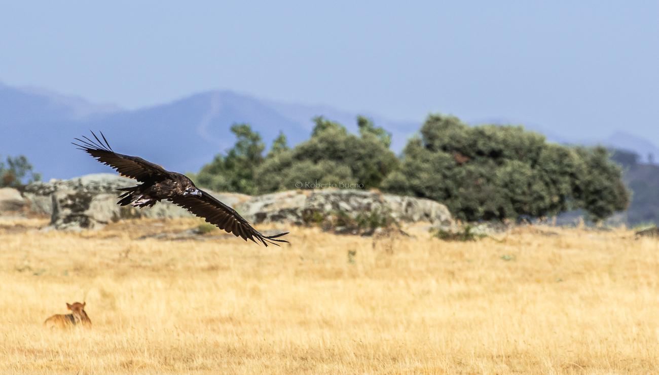 El vuelo del negro (Aegypius monachus). Reserva de la Biosfera de las Sierras de Béjar y Francia - Sierras de Béjar y Francia - Reserva de la Biosfera - Roberto Bueno - Fotografía de Naturaleza