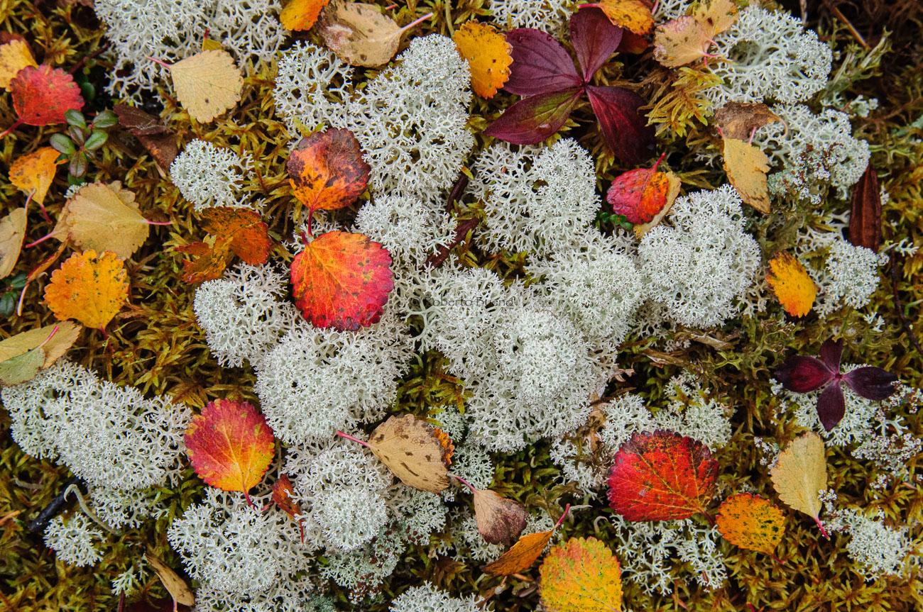 Líquenes y hojas. La alfombra de la taiga - Yukon, NWT y Dempster - Roberto Bueno. Luces del Planeta. Fotografías. Yukon, Territorios del Noroeste y Dempster Highway