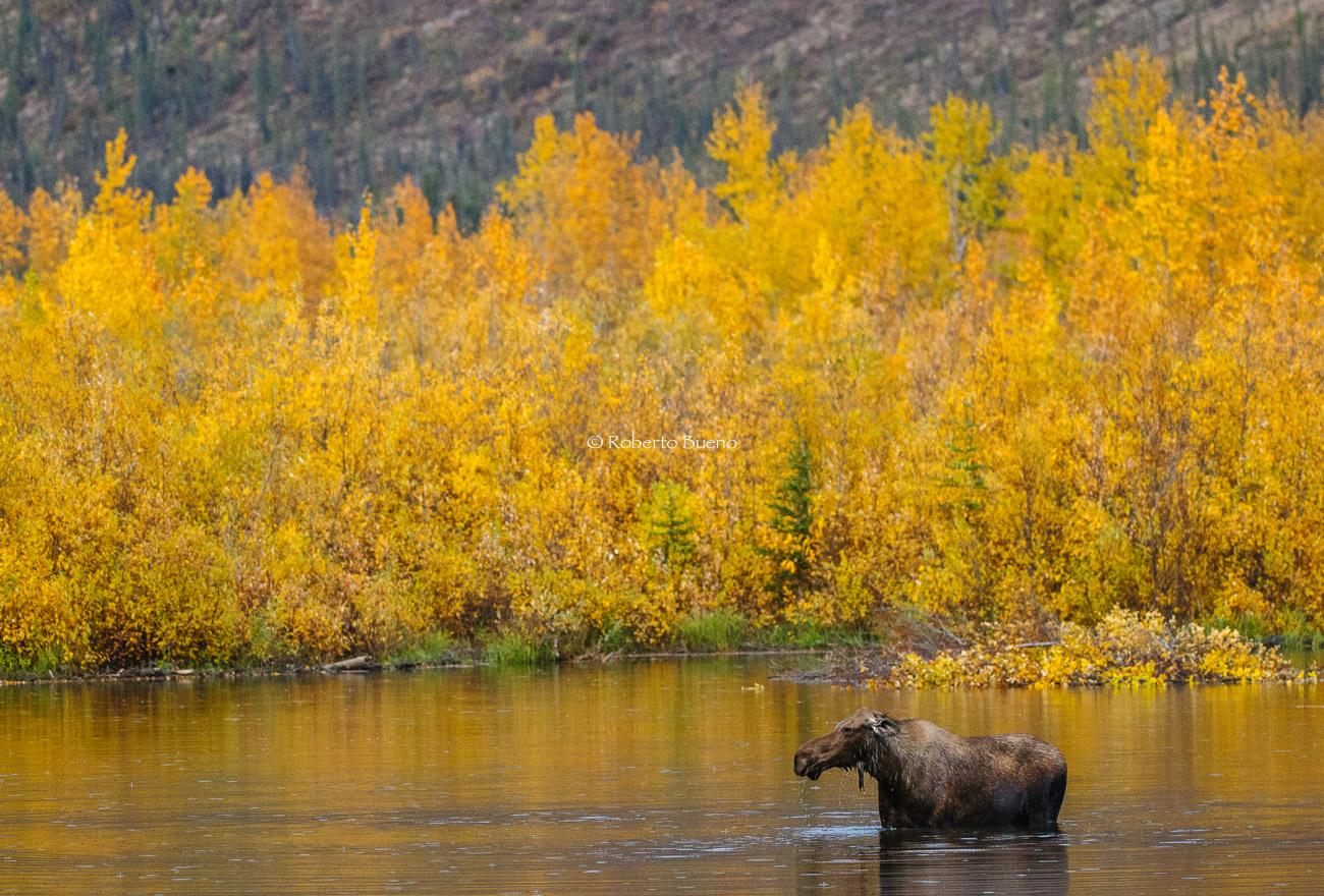 El gran alce. Dempster Highway - Yukon, NWT y Dempster - Roberto Bueno. Luces del Planeta. Fotografías. Yukon, Territorios del Noroeste y Dempster Highway