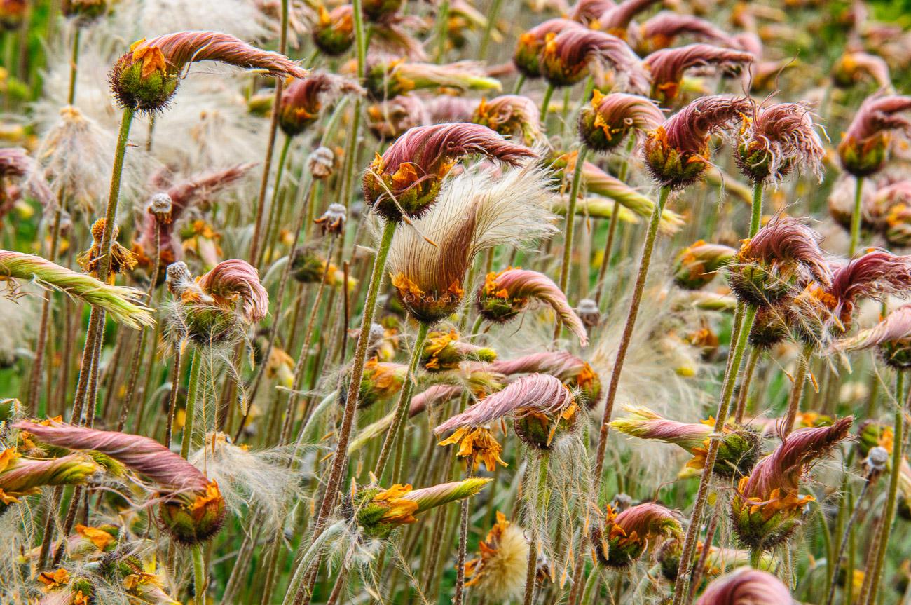 Dríada (Dryas octopetala) - Yukon, NWT y Dempster - Roberto Bueno. Luces del Planeta. Fotografías. Yukon, Territorios del Noroeste y Dempster Highway