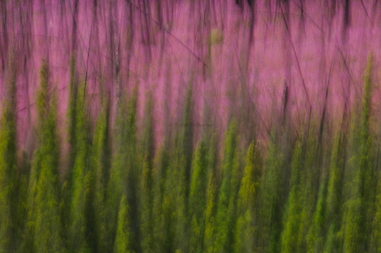 Piceas y fireweed - Yukon, NWT y Dempster - Roberto Bueno. Luces del Planeta. Fotografías. Yukon, Territorios del Noroeste y Dempster Highway