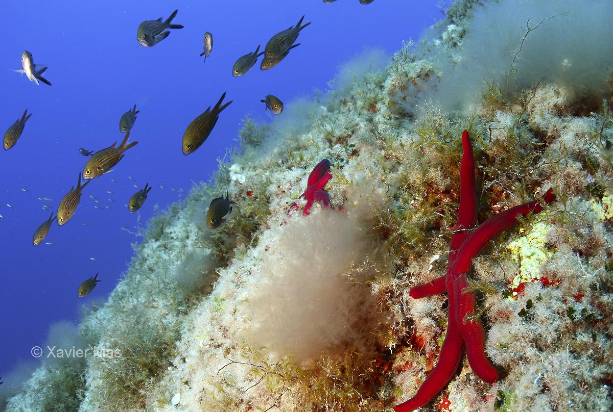 Tercer premio Fotografía submarina C. N. Santa Eulalia. Estrella (Ibiza). - Paisajes marinos - Xavier Mas, Imágenes de naturaleza